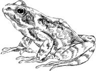 Crafty Stamps - Frog 1 - AN121B